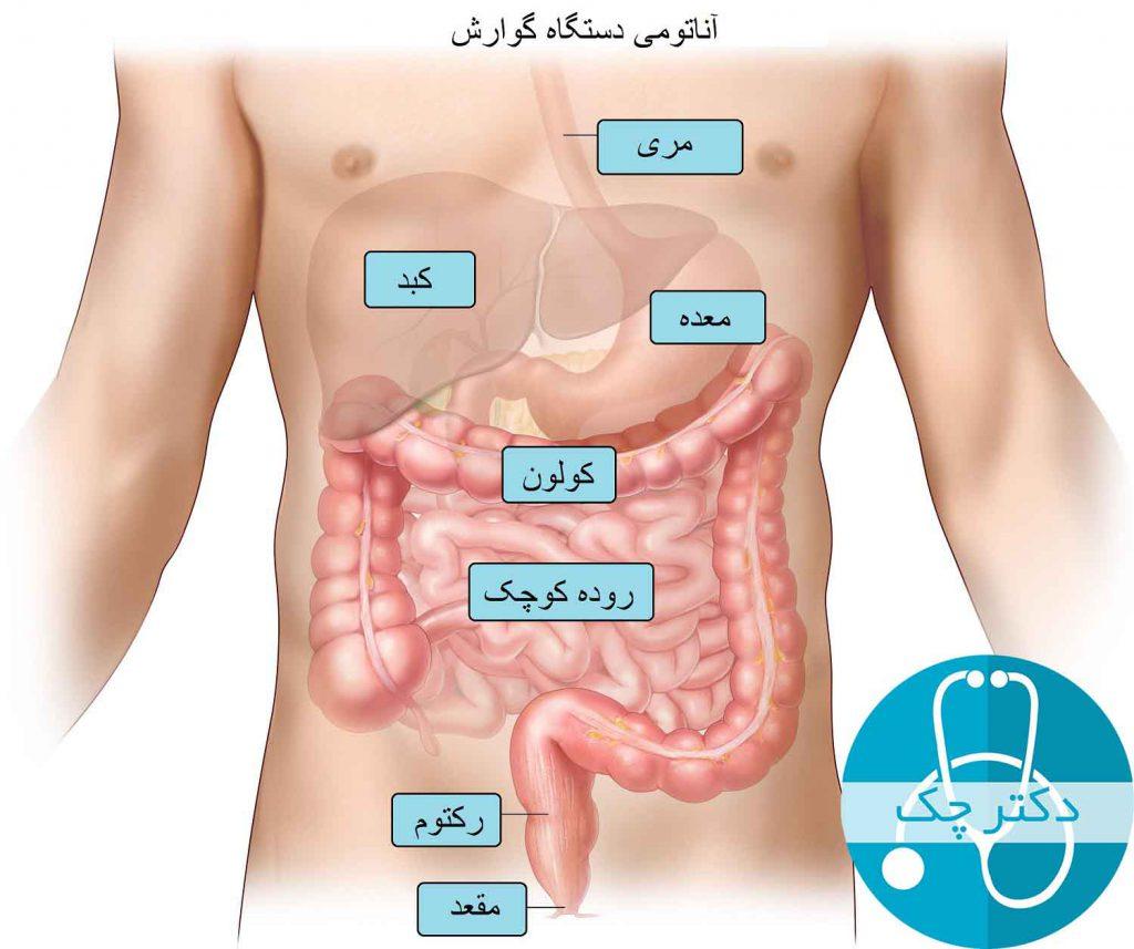 آناتومی دستگاه گوارش