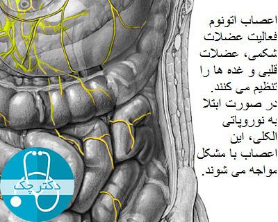 در صورت ابتلا به نوروپاتی الکلی، فعالیت عضلات شکمی مختل می شود